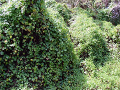 Cape Ivy smothering habit