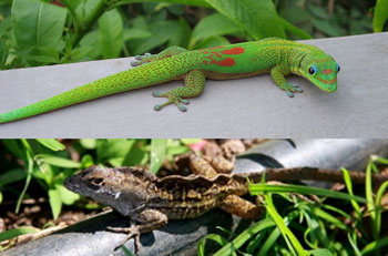 gold dust day gecko and brown anole