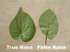 Kava and false kava leaf comparison