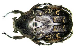 oriental flower beetle