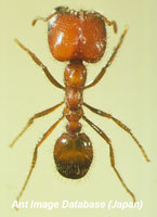 Tropical Fire Ant